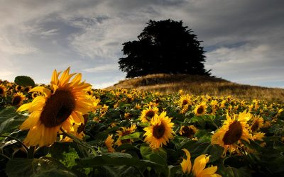 The Story of Our Sunflowers